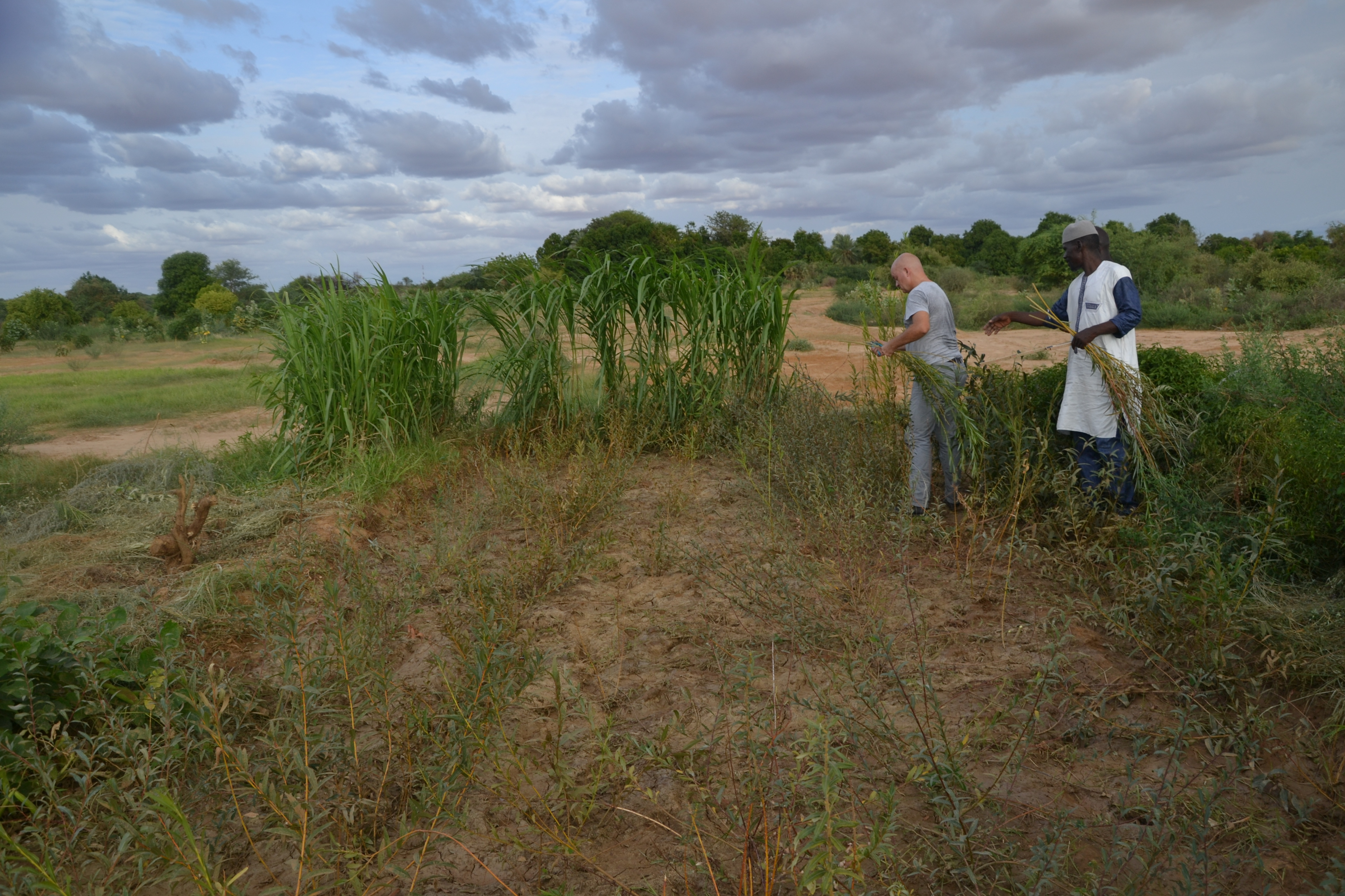 Weiden in Walaldé, Senegal für das Korbflechthandwerk